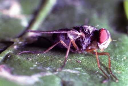 Therobia leonidei - female parasitoid fly